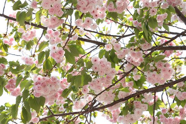 桜_07_11