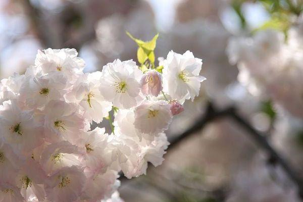 桜_09_01