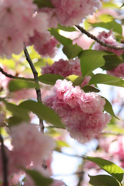 桜_09_04