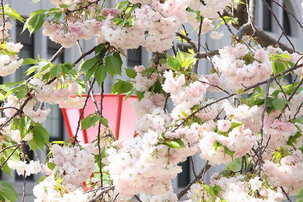 桜_09_05