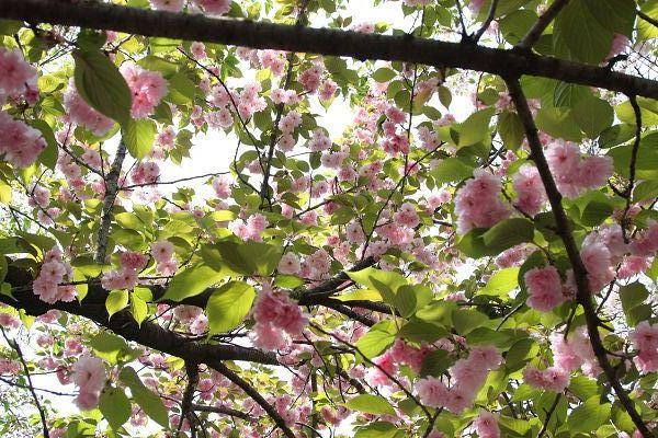 桜_09_07