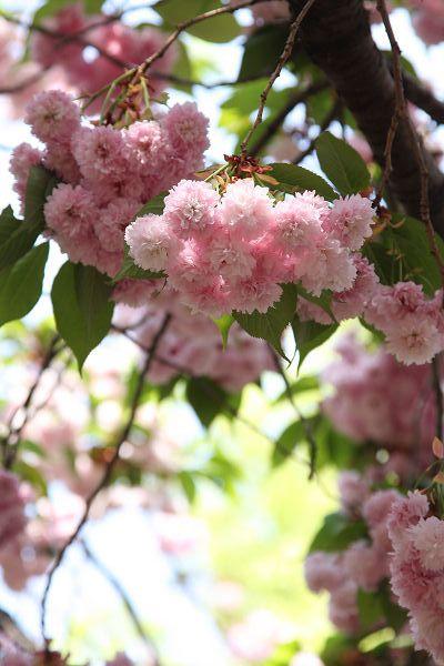桜_09_08