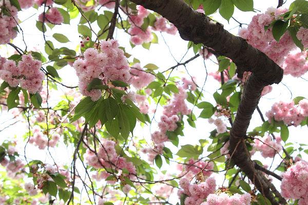 桜_09_09