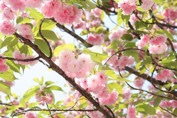 桜_09_10
