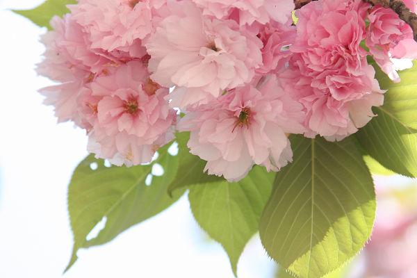 桜_09_11