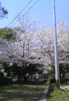 047-1 桜(学校)