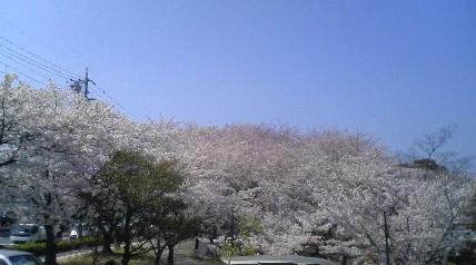 047-2 桜