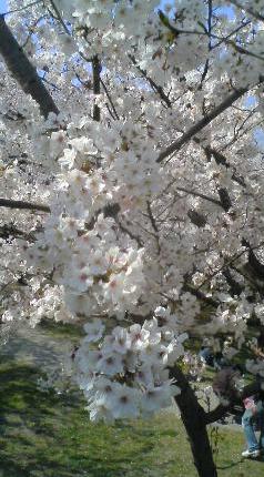 047-3 桜