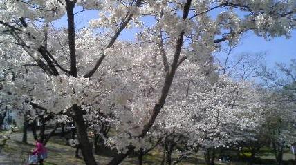 047-4 桜