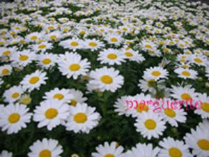 marguerite_20090408145955.jpg