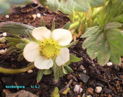 いちごの花090216