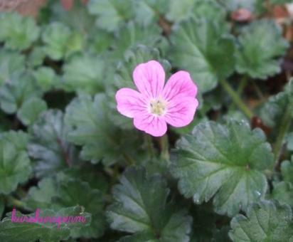 小さいピンクの花090416