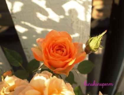 ミニバラオレンジ色090429