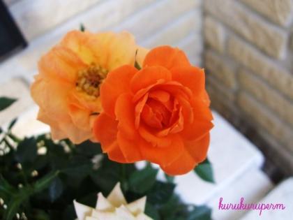ミニバラオレンジ090503