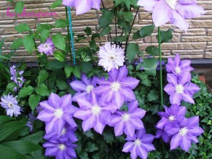 紫泉090513