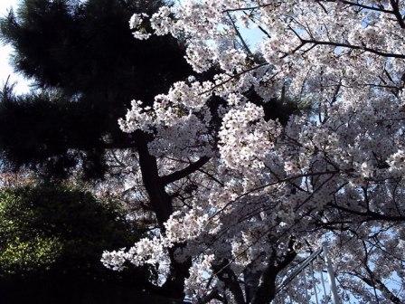トイデジで桜2