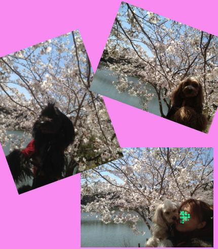 2012.4.8桜とおチビ