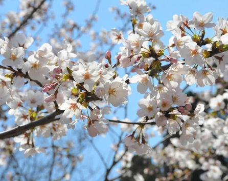 2012.4.8桜