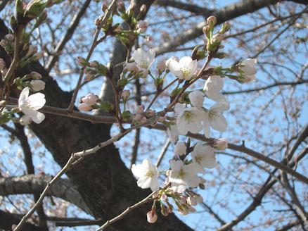 2012.4.5桜