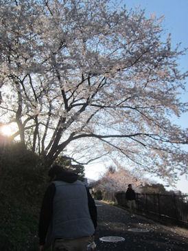 2012.4.8本牧さくら