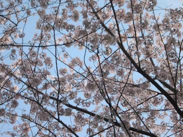 2012.4.13桜