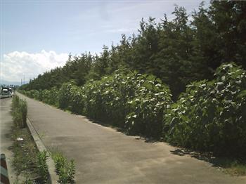 ひまわりH200715-01