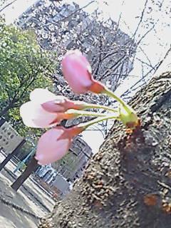 2007331sakura.jpg