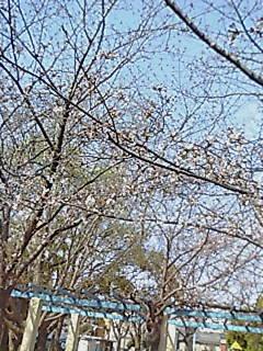 2007331sakura4.jpg