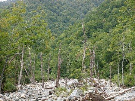 立ち枯れの木々