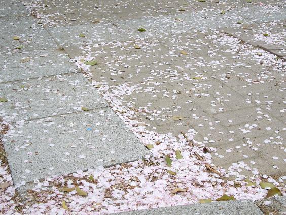 風で散った桜