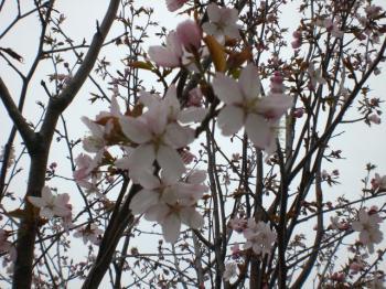 樽川ラン桜