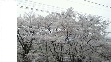 sakura_20120420000328.jpg