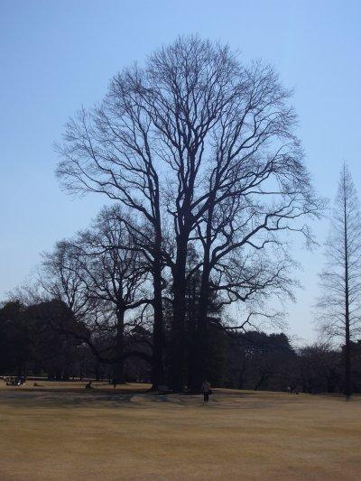 新宿御苑2008 ユリノキ