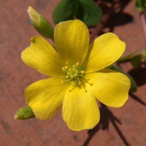 花びら6枚のカタバミの花