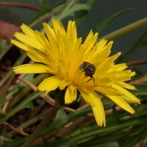 ミズベタンポポの花