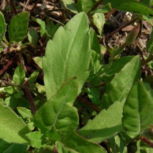 アカバナユウゲショウの葉
