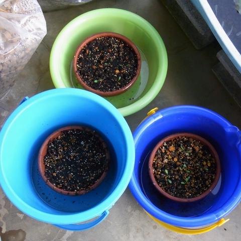 ミズベタンポポの苗の栽培