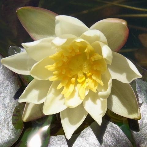 ヒメスイレン - 2009初開花
