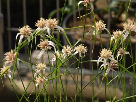 シラサギカヤツリの花
