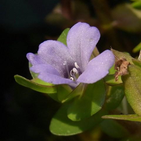 ウォーターバコパの花