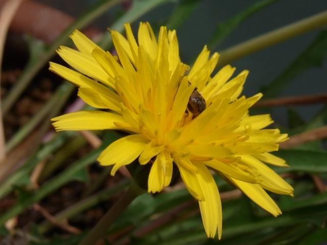 ミズベタンポポの花(with 虫)