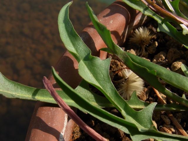 ミズベタンポポの葉