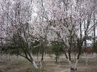 桜みたいな木~梅か?