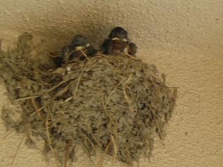 燕の子供~2匹いるのか3匹いるのかまだはっきりしません