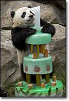 Panda 1 yr