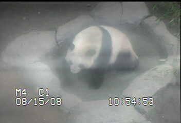 a panda Zhen Zhen