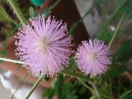 おじぎそうの花