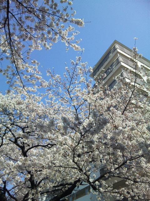 2012 桜 3