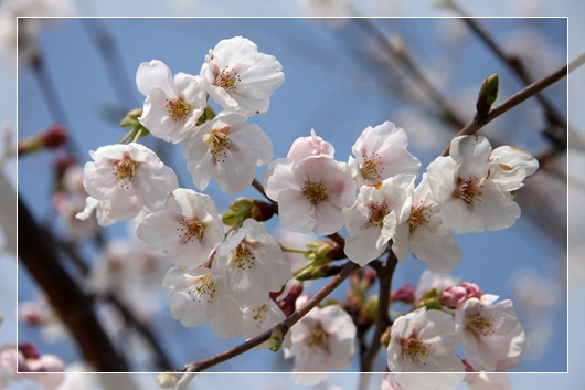 4,7桜1