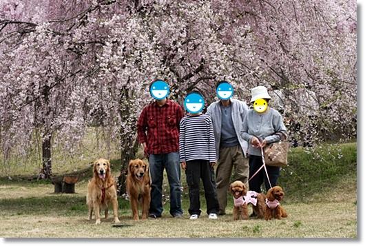 4,20枝垂桜1